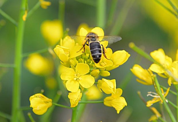 DSC_8668 honeybee