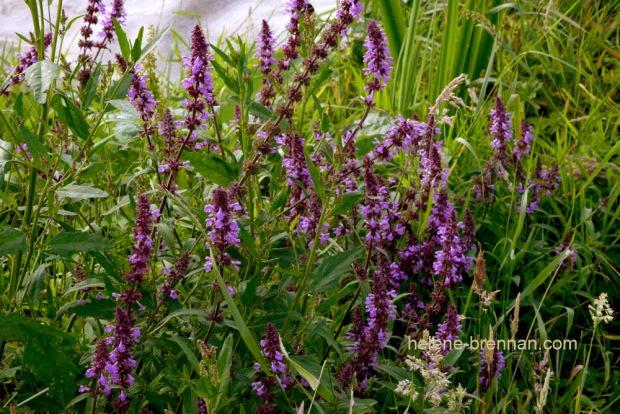 DSC_9251 loosestrife wildflowers