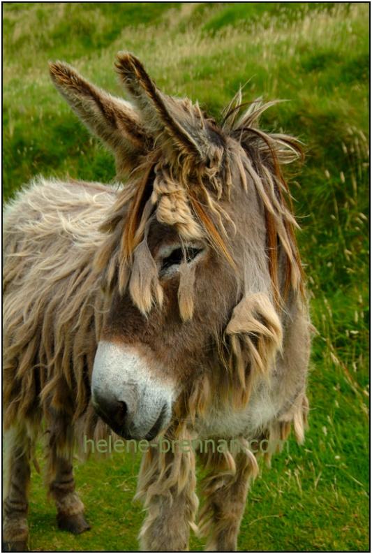 Resident Donkey on Gt. Blasket Island