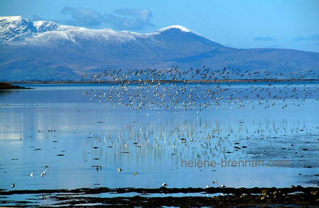Birds at Tralee Bay