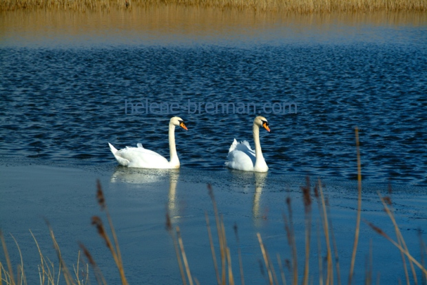 In a pond beside Tralee Ship Canal, two swans negotiate a film of ice around the edge.