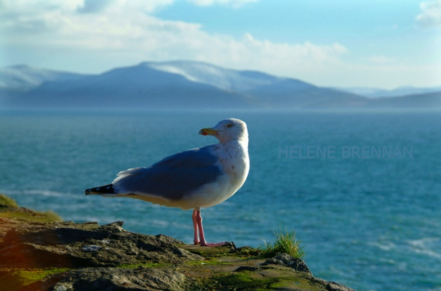 SEA GULL POSING AT SLEA HEAD