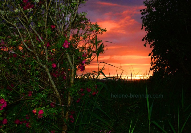sunset and wild roses_9307