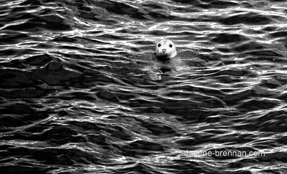 seal 2-bw