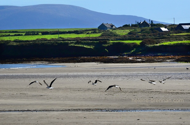 DSC_9546 ventry cuan birds