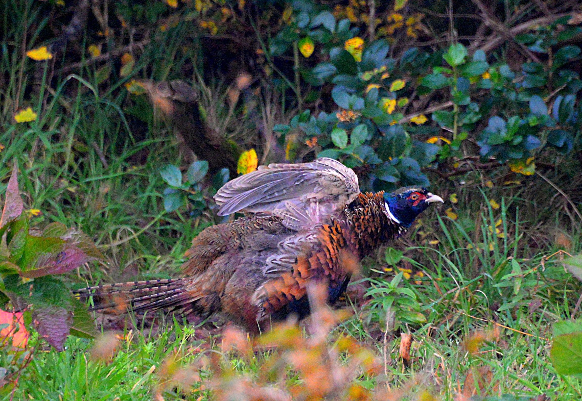 DSC_0185 pheasant