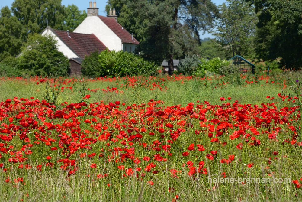 DSC_8872 poppy field