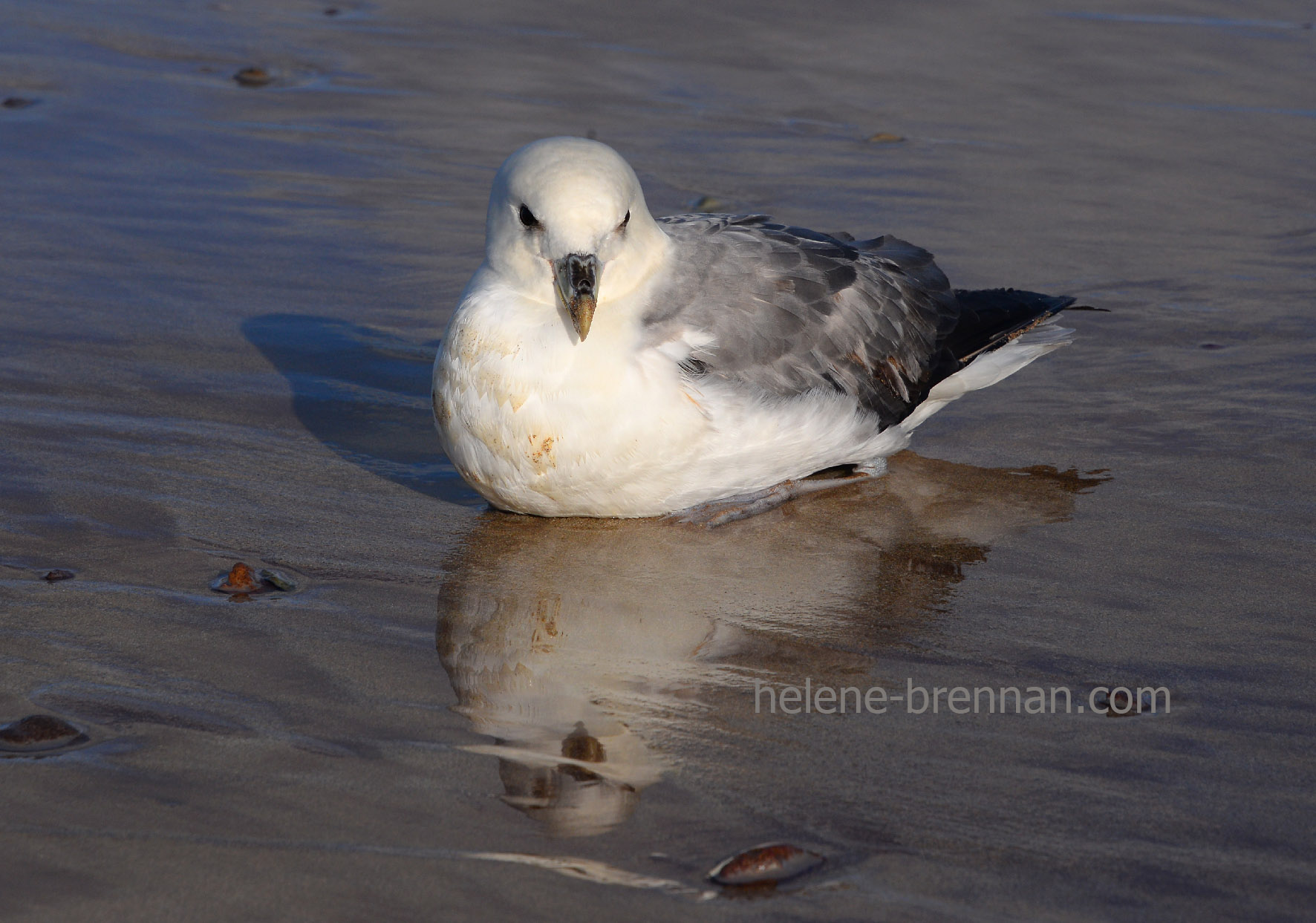 DSC_2256 fulmar on the beach