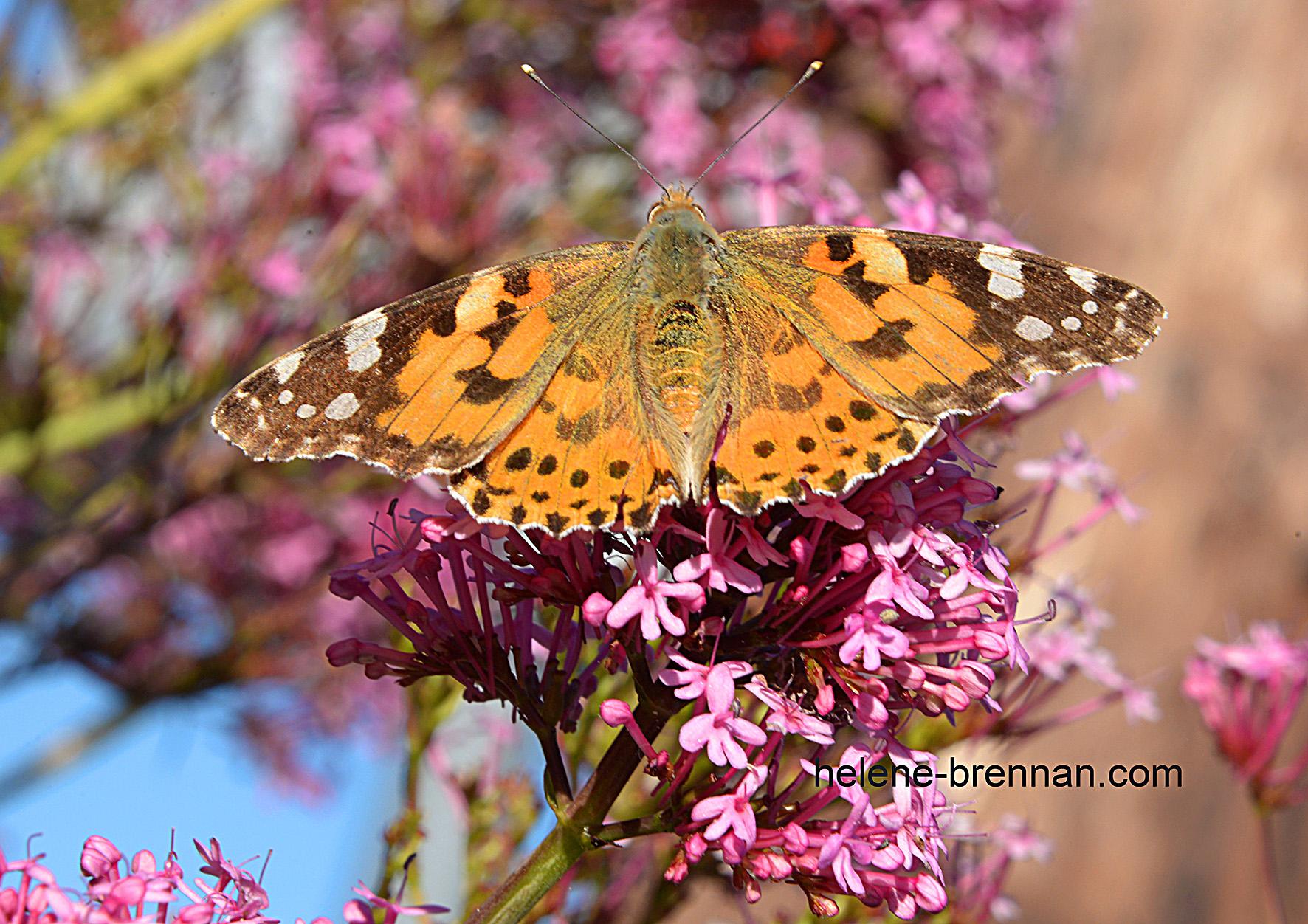 DSC_8792 garden butterfly