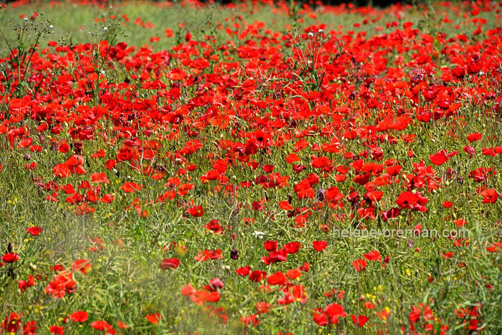 DSC_8868 poppy field