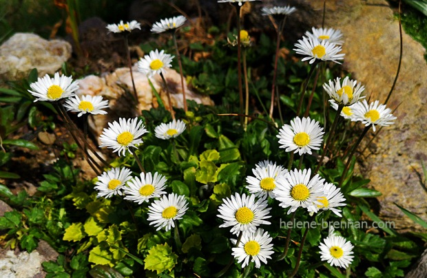 150534 daisies