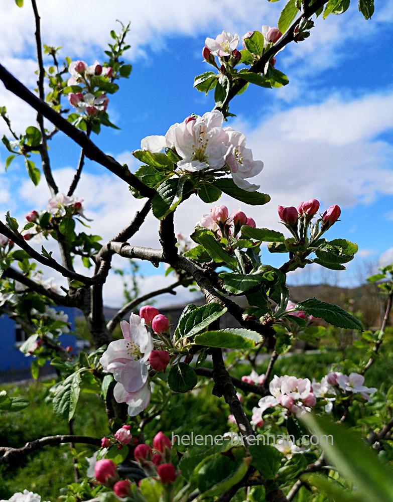 apple blossom 130740