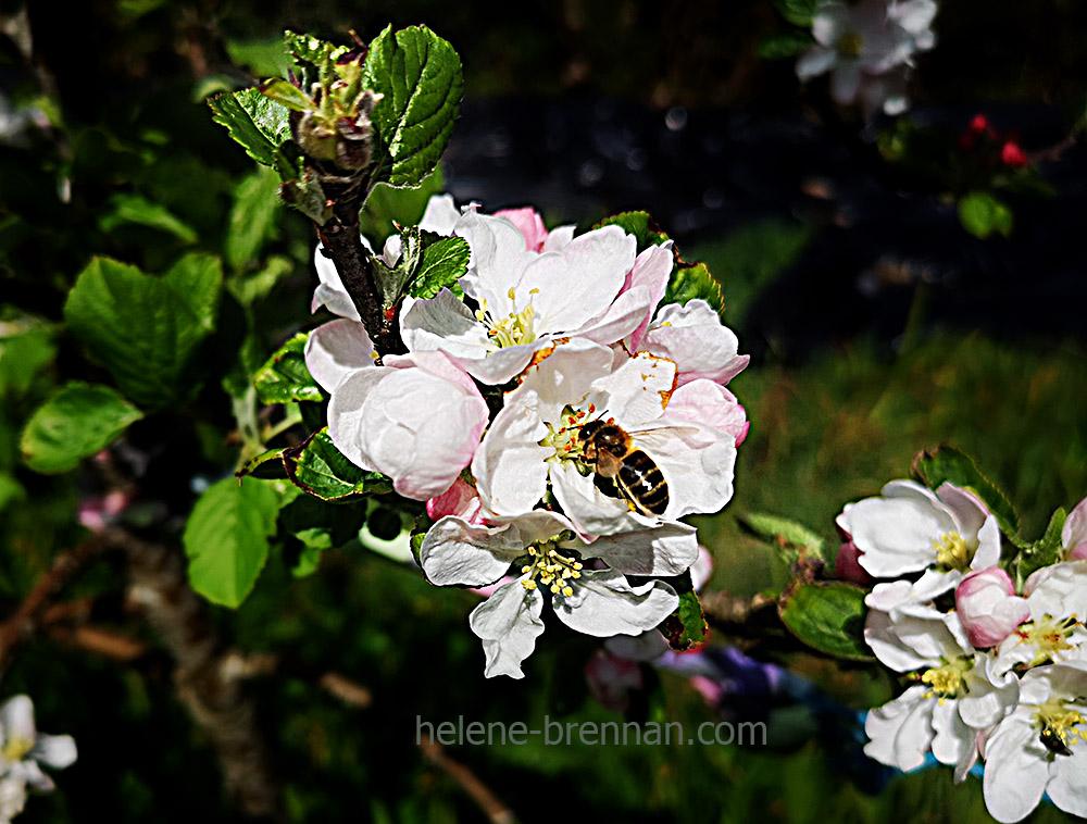 apple blossom 130951