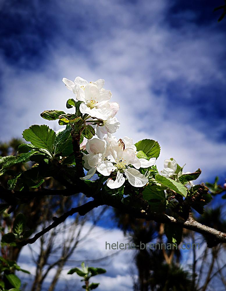 apple blossom 131106