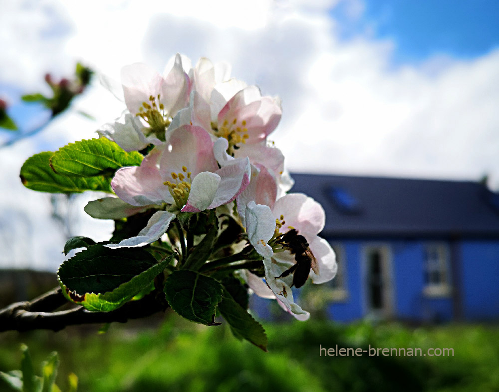 apple blossom 132827