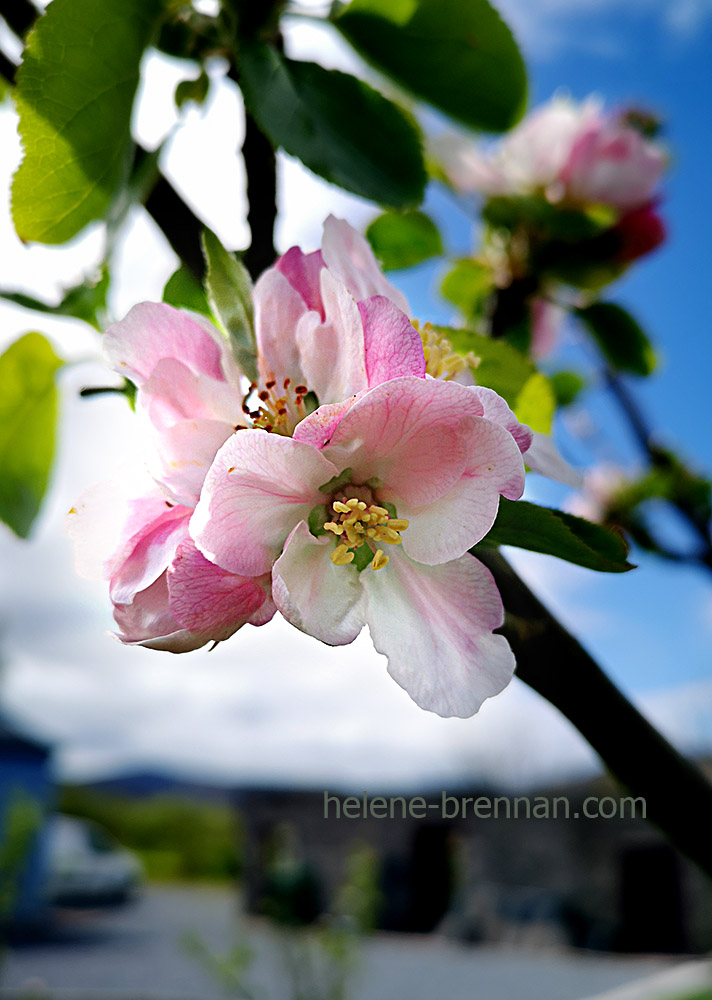 apple blossom 133023