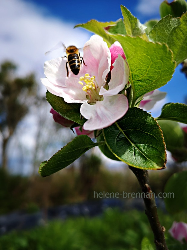 apple blossom 133140