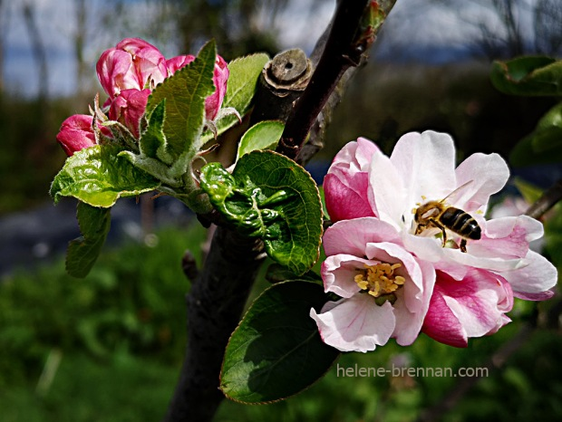 apple blossom 133151