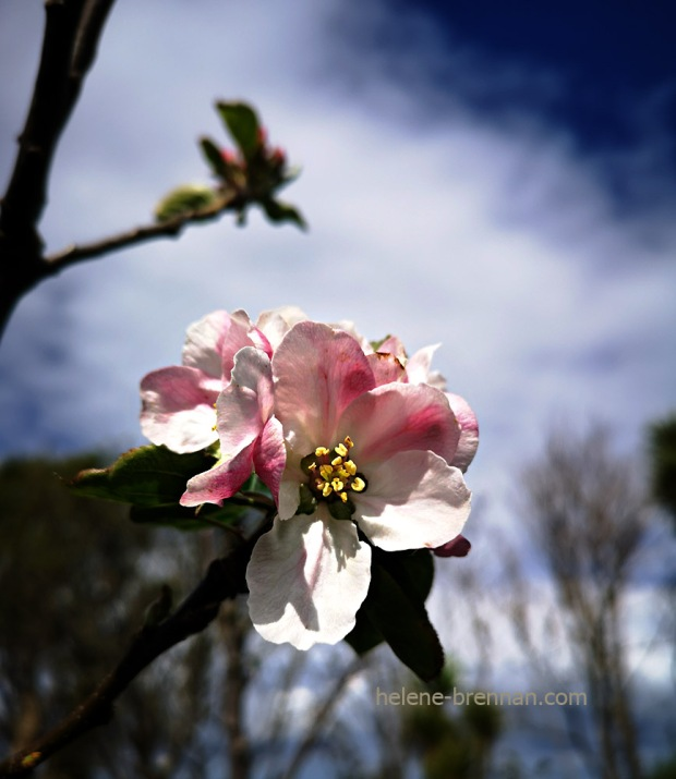 apple blossom 133314