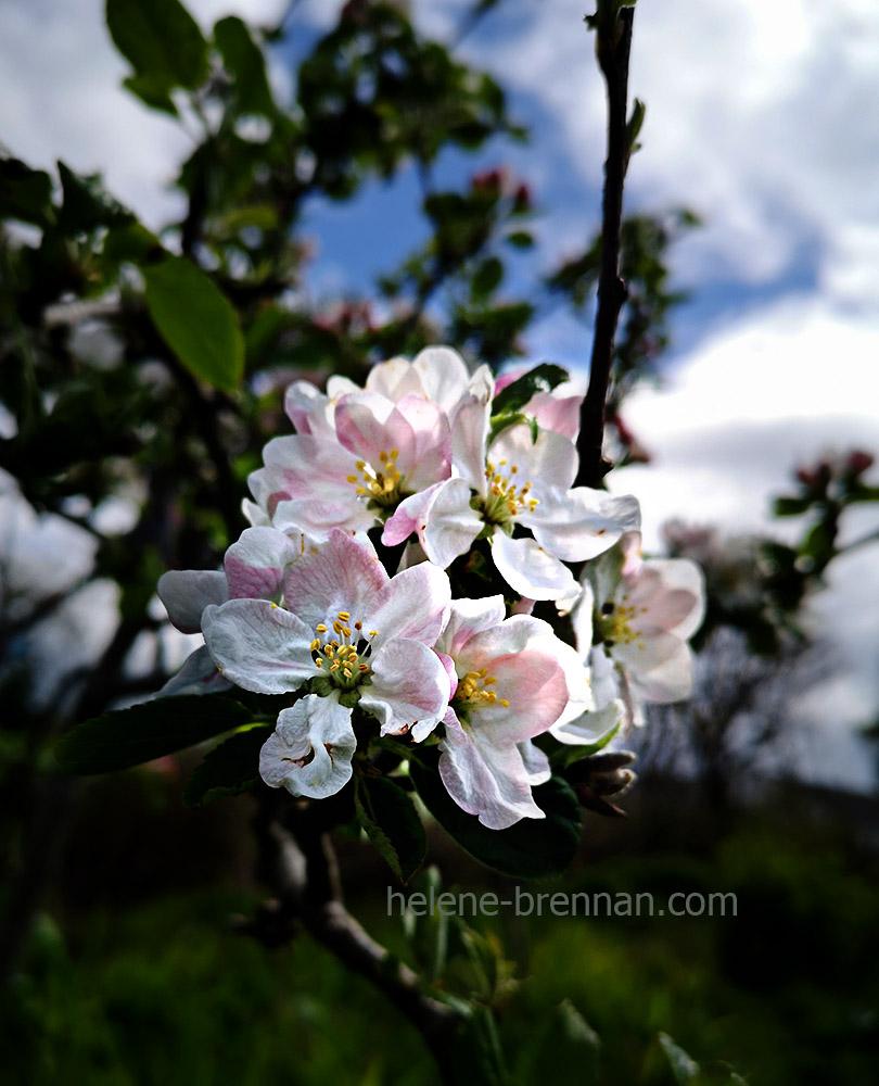 apple blossom 133542