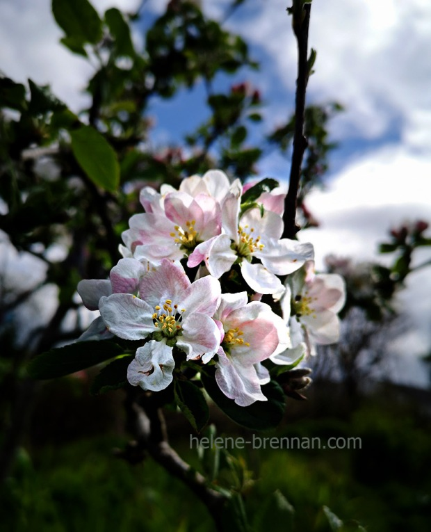 apple blossom 133542