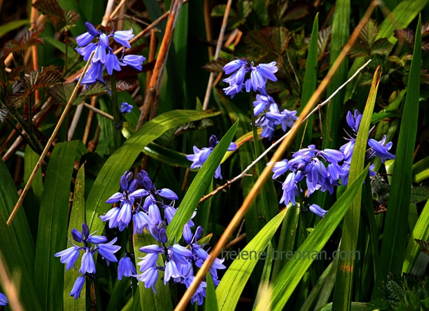 DSC_2660 bluebells