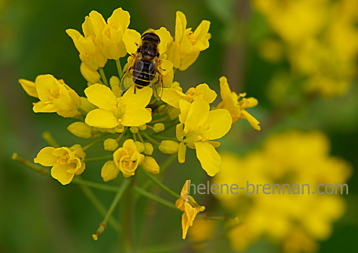 DSC_2703 bee and flower