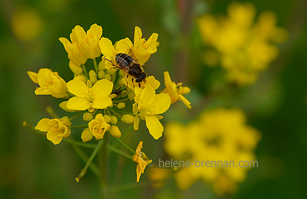 DSC_2705 bee and flower