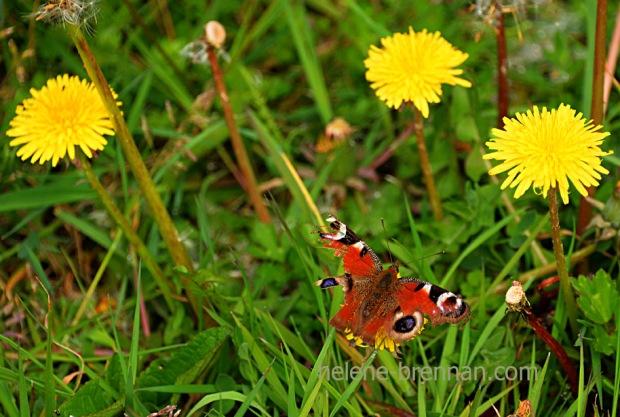 DSC_2722 butterfly