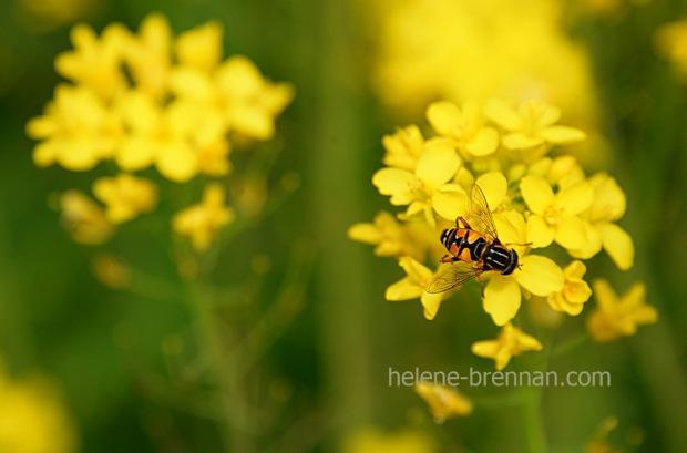 DSC_2731 bee