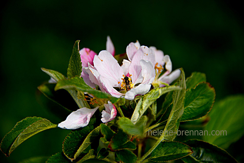 DSC_2746 insect in apple blossom