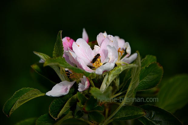 DSC_2747 apple blossom with insect