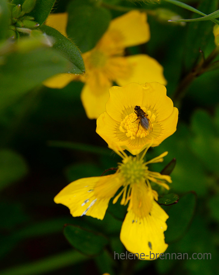 DSC_2749 insect in buttercup