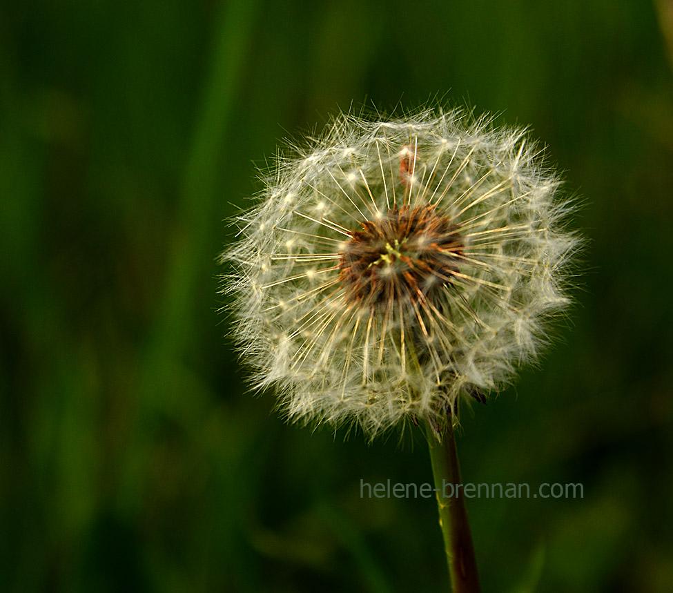 DSC_2765 dandelion seed head