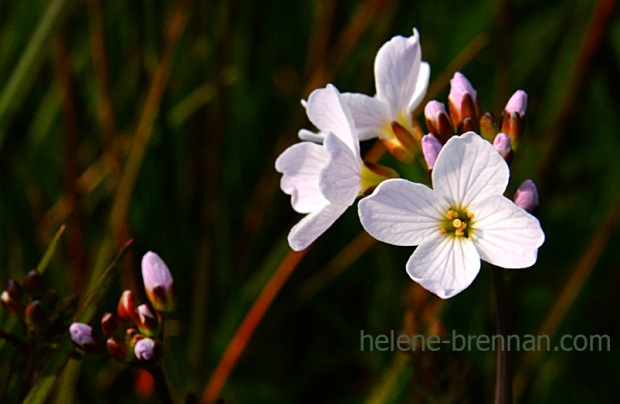 DSC_2777 cuckoo flower