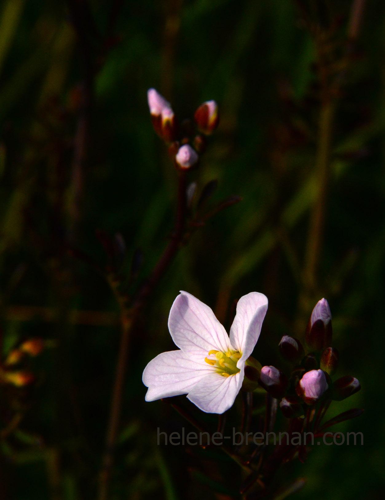 DSC_2779 cuckoo flower