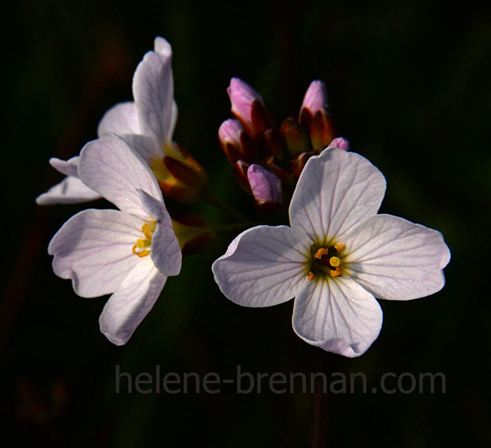 DSC_2780 cuckoo flower