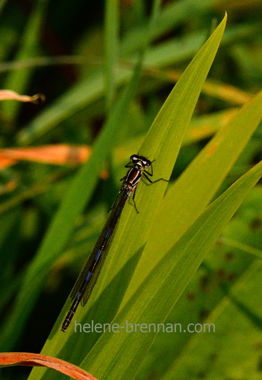 DSC_2802 dragon fly