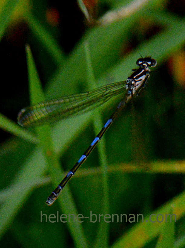 DSC_2803 dragon fly