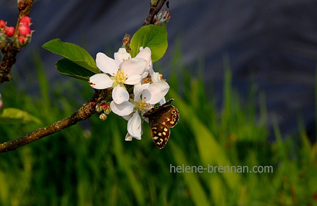 DSC_2807 butterfly on appleblossom