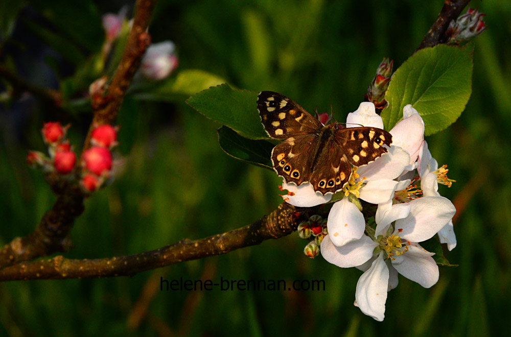 DSC_2808 butterfly on apple blossom