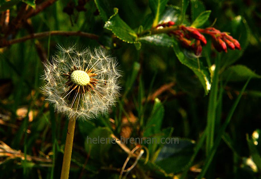 DSC_2817 dandelion seed head