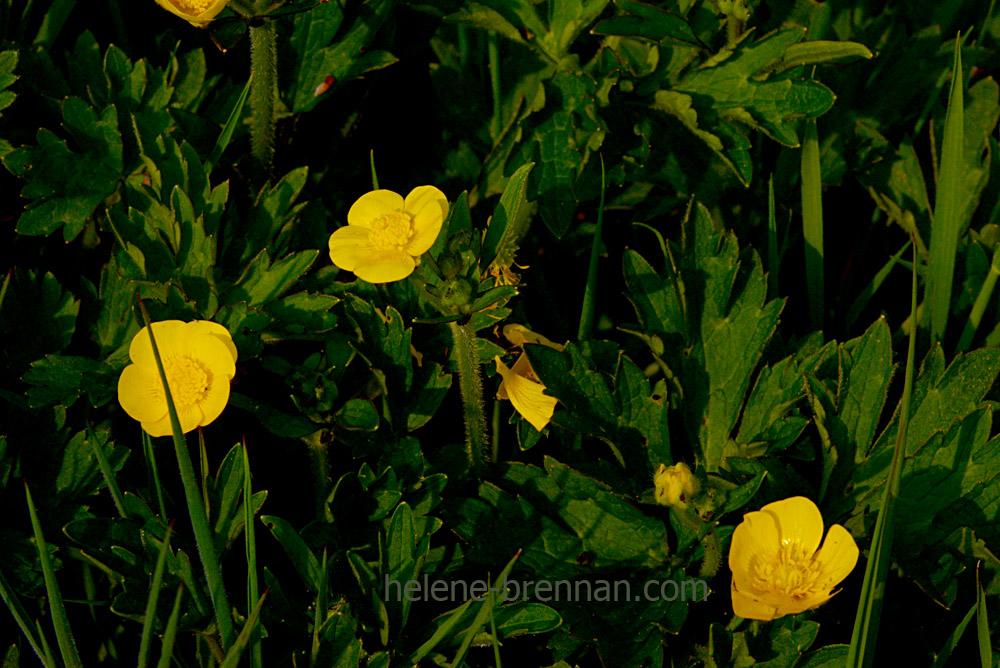 DSC_2819 buttercups