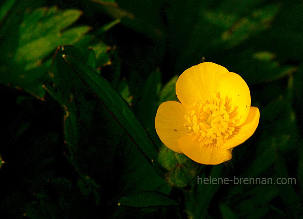 DSC_2821 buttercup