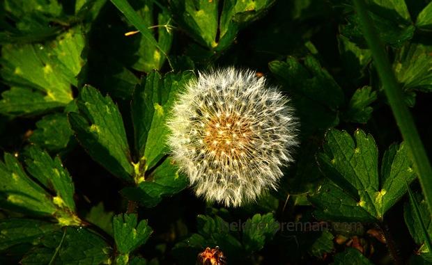 DSC_2824 dandelion seed head