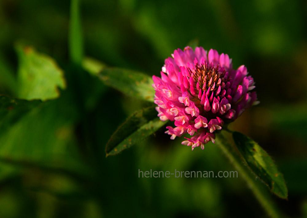 DSC_2828 thistle flower