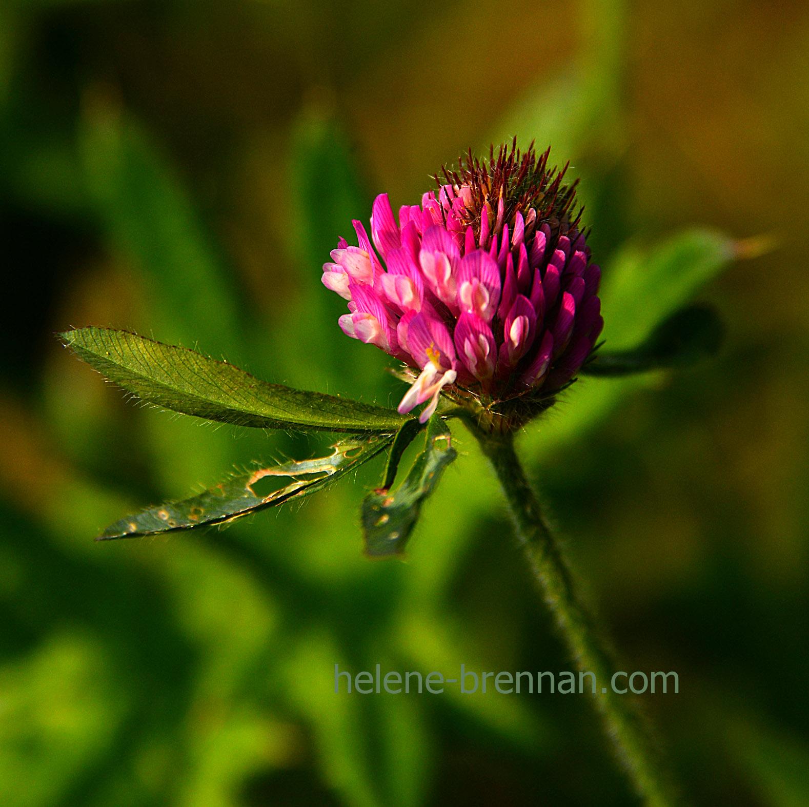 DSC_2829 thistle flower