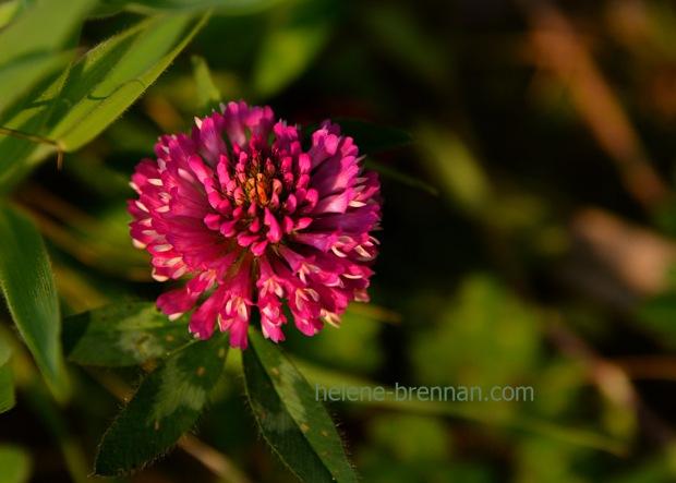 DSC_2831 thistle flower