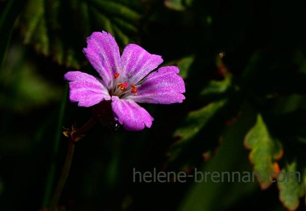 DSC_3046 herb robert