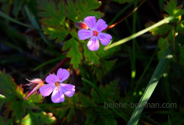 DSC_3049 herb robert